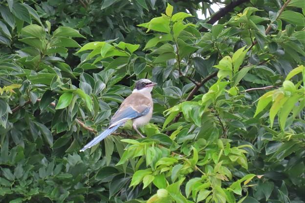 オナガの幼鳥