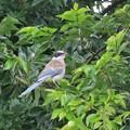 Photos: オナガの幼鳥