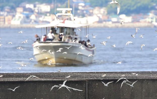 コアジサシと漁船