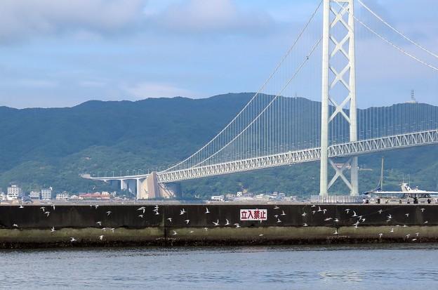 明石大橋とコアジサシ