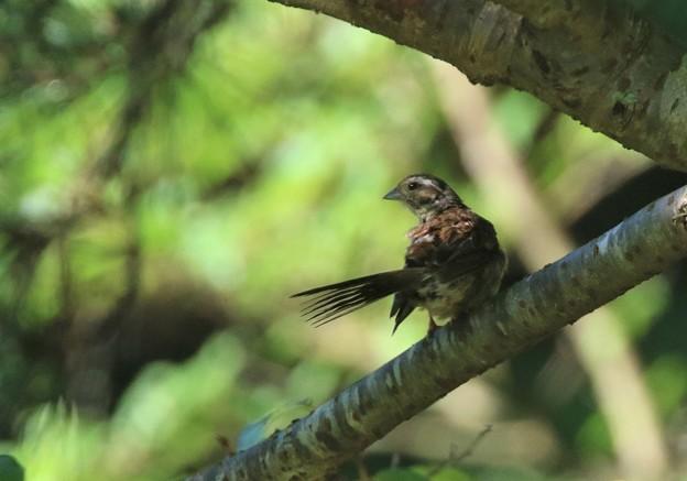 ホオジロの幼鳥