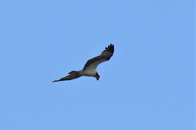 ミサゴの飛翔