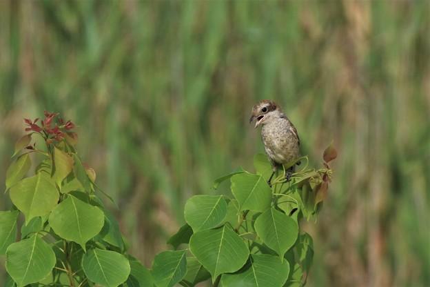 百舌鳥の幼鳥