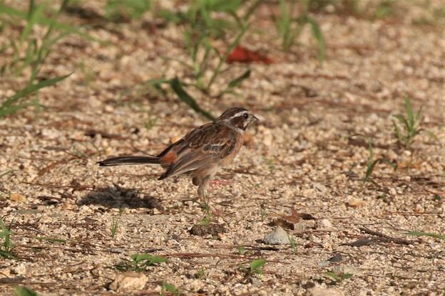 ホオジロ幼鳥