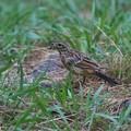 Photos: ホオジロ幼鳥