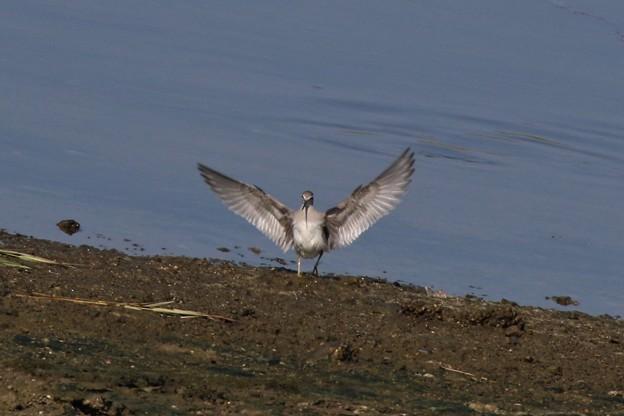 Photos: キアシシギの着地