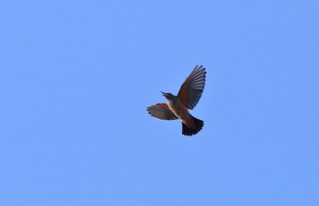 イソヒヨドリの飛翔