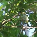 ムシクイの幼鳥