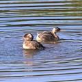 Photos: カイツブリ幼鳥