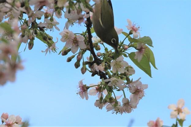 Photos: 十月桜メジロ