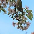 十月桜メジロ