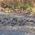 Photos: ハギマシコの群れ