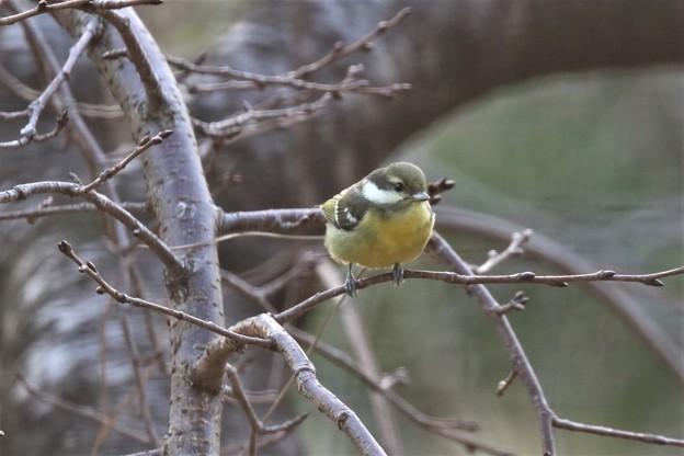 珍鳥キバラガラ