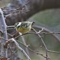 Photos: 珍鳥キバラガラ