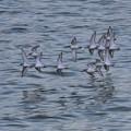Photos: ハマシギ群れの飛翔