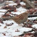 Photos: 雪のカヤクグリ