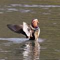 Photos: オシドリの羽ばたき