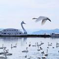 猪苗代湖の白鳥1