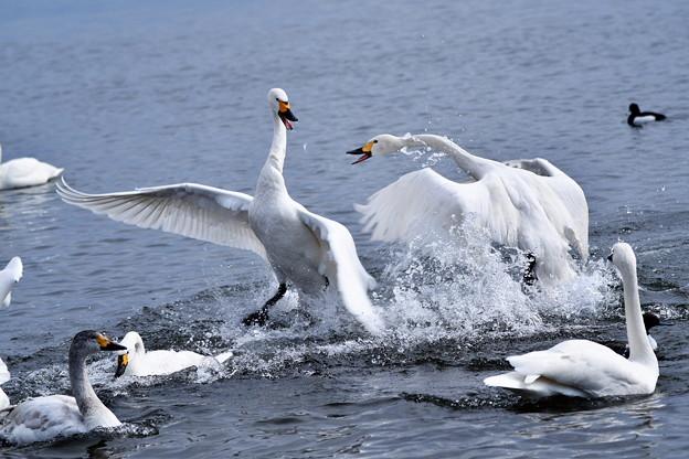 猪苗代湖の白鳥3
