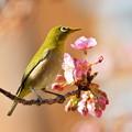 写真: 河津桜とメジロん