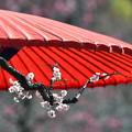 写真: 梅と野点傘