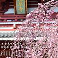 浅草寺と枝垂れ桜