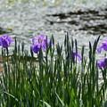 写真: 東御苑の花菖蒲2