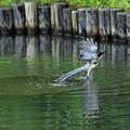 写真: オナガの水浴び2