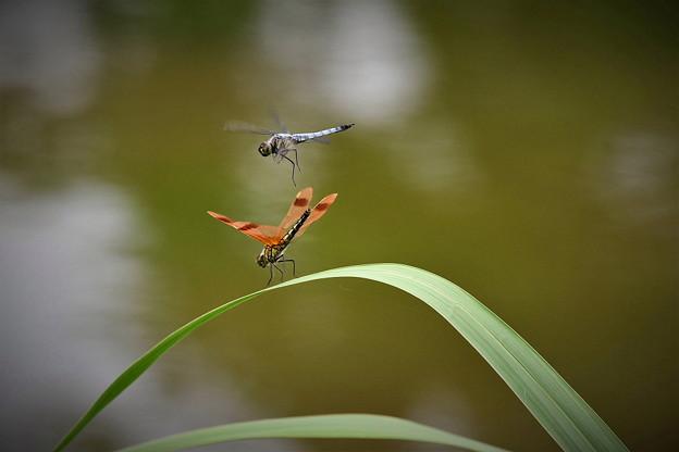 蜻蛉の共演