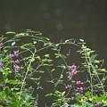 写真: 雨に咲く萩