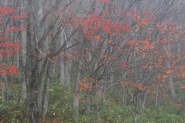 霧の中の紅葉