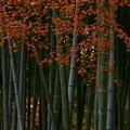 写真: 竹林もみじ