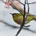 Photos: 寒桜にメジロ