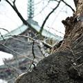 Photos: 上野の五重塔