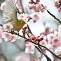 写真: 寒桜ジロー1