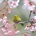 寒桜ジロー2