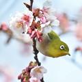 Photos: 寒桜ジロー3