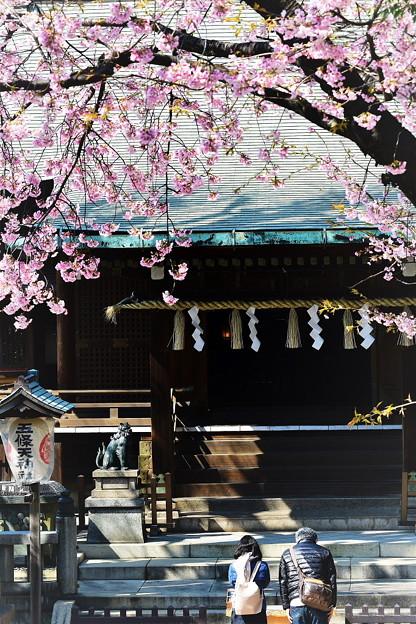 Photos: 五條天神の寒桜