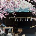 五條天神の寒桜