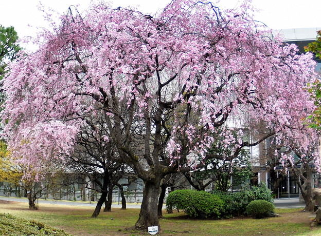 立教新座キャンパスの枝垂れ桜