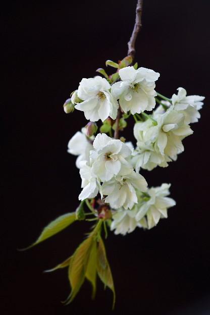 鬱金桜(うこん)
