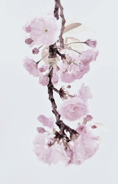 関山桜(かんざん)