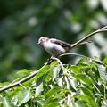 Photos: エナガの幼鳥?