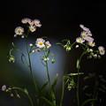 Photos: 野に咲くハルジオン