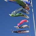 Photos: 鯉のぼり2