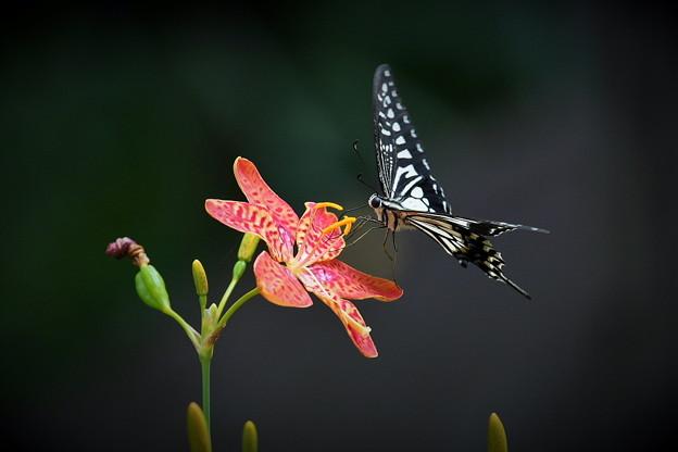 ヒオウギにアゲハ蝶