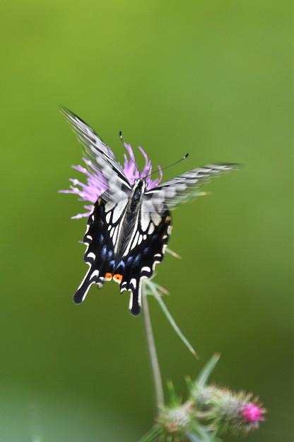 ひらひらアゲハ蝶