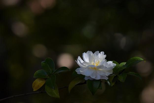 白の山茶花