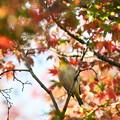 Photos: 紅葉メジロん