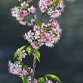 Photos: ヒマラヤ桜
